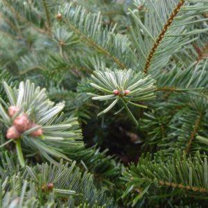 kerstboom online kopen