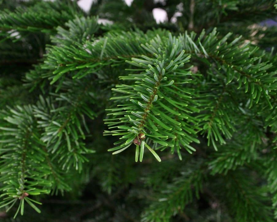 nordmann kerstboom 150-180cm thuisindetuin.nl
