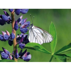 1800127165-buitenschilderij-lupin-butterfly-pb-collection-70x130