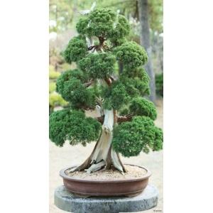 1900280167-buitenschilderij-bonsai-oud-pb-collection-70x130