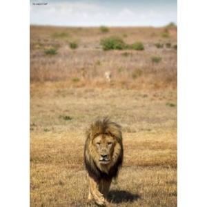 1800162166-buitenschilderij-africa-wild-lion-pb-collection-70x130