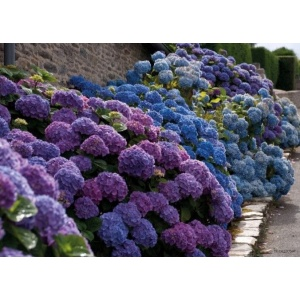 1800172166-buitenschilderij-hydrangea-lane-pb-collection-70x130