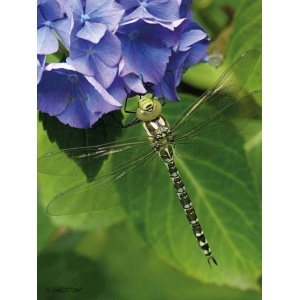 1800173165-buitenschilderij-hydrangea-dragonfly-pb-collection-70x130