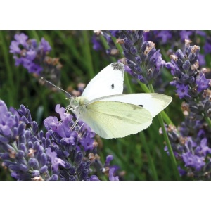 1800425166-buitenschilderij-cabbage-white-on-lavender-collection70x130