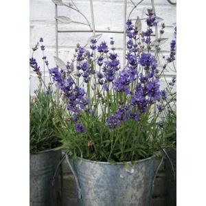 1800428166-buitenschilderij-lavender-in-pot-collection70x130