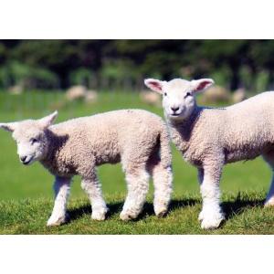 1800429166-buitenschilderij-lambs-collection70x130