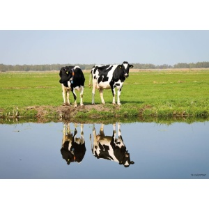 1800430166-buitenschilderij-cows-with-reflection-collection70x130