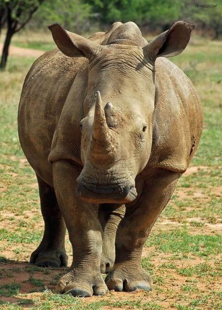 1801165166-buitenschilderij-rhino-pb-collection-70x130